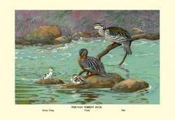Peruvian Torrent Duck 20x30 poster