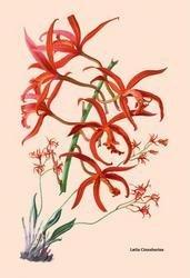 Orchid: Laelia Cinnabarina 24x36 Giclee