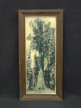 Vintage Black And White Photograph Giant Sequoia,