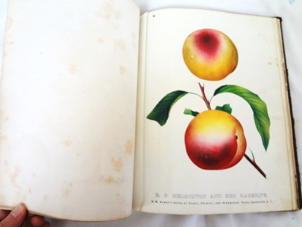 Dewey's The Colored Fruit Book: For Use of Nurserymen - 6