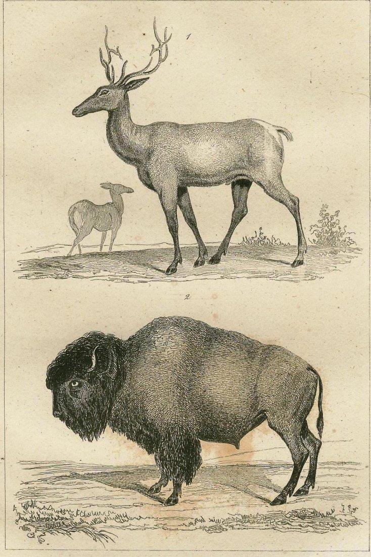 American elk and bison. FAUNA. 1837.
