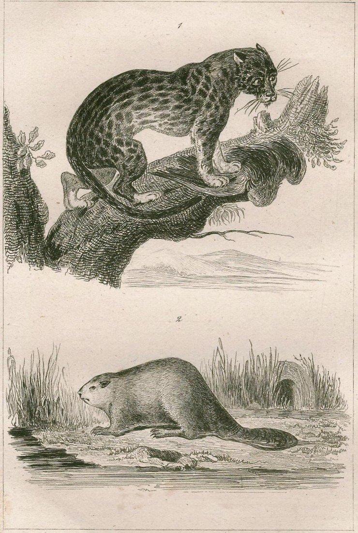 Ocelot and beaver. NORTH AMERICA. ~1838.
