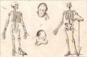 Skeleton Of Chimpanes. Human Skeleton.