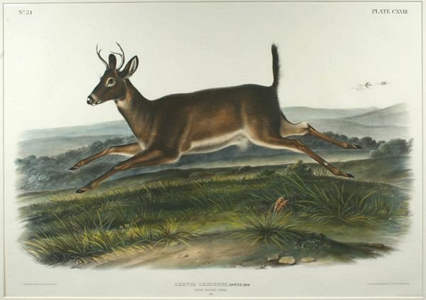 3017: J.W. AUDUBON, LONG TAILED DEER, LITHO, C.1845