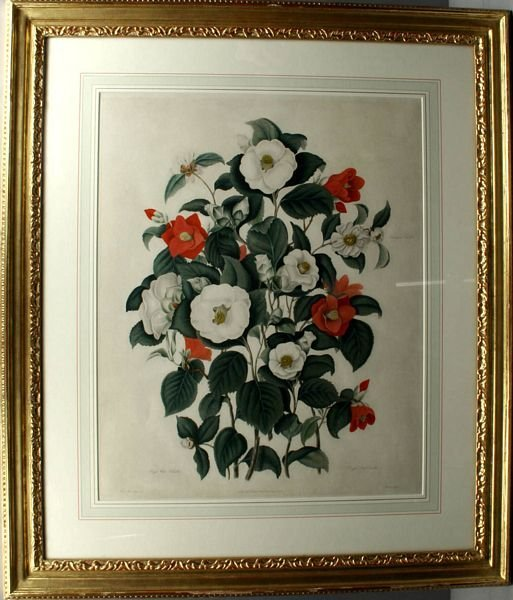 3031: CLARA MARIA POPE, CAMELLIAS, AQUATINT, 1819