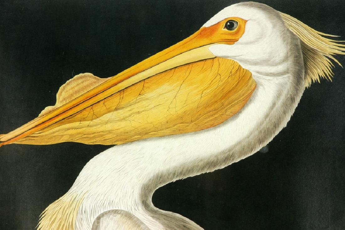 After Audubon, American White Pelican, Offset Litho - 3