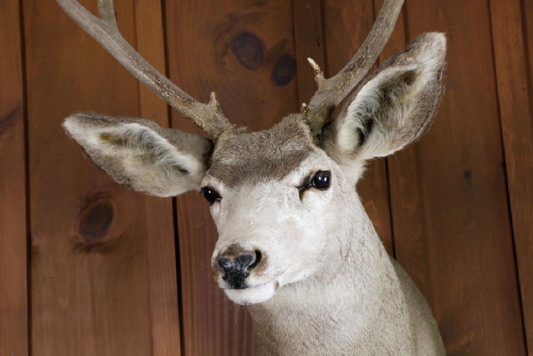 Lot of (2), Deer Head Trophy & Taxidermy Pheasant - 4