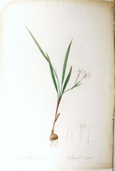 4: REDOUTE, GLADIOLUS…,PL.44, HC ENGR, C.1815