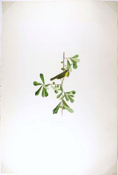 8: AUDUBON, P24,...YELL. THROAT,AQ,HC ENGR,1827-38