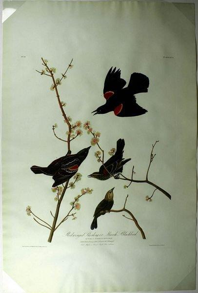 16: AUDUBON/HAVELL REDWING, HC AQUATINT, 1827-38