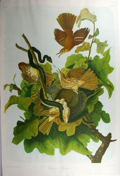 17: AUDUBON, FERR.THRUSH, CHROMOLITHO, C.1860