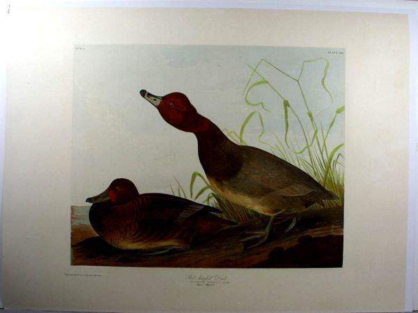 19: AUDUBON, RED HEADED DUCK,CHROMOLITHO,C.1860