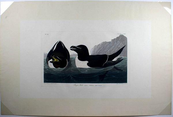 22: AUDUBON RAZOR BILL,AQUATINT ENGR W/HC,C.1835