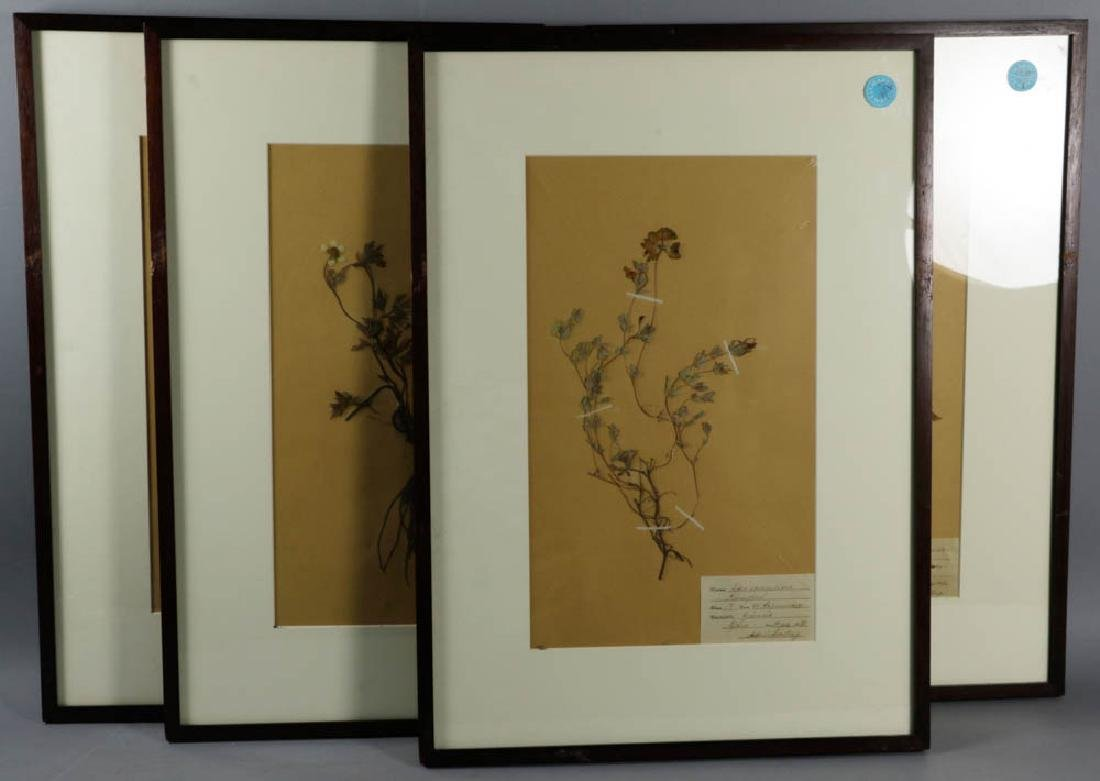 German Framed Botanical Specimens