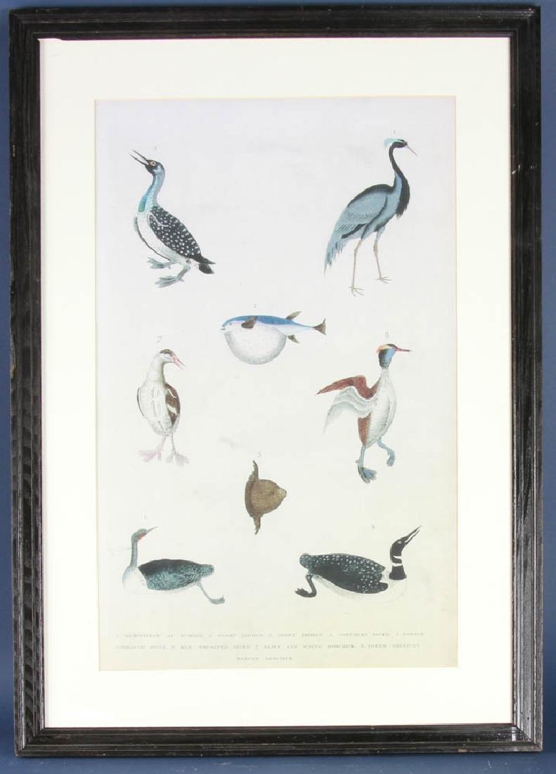 Large Antique Ornithological Print