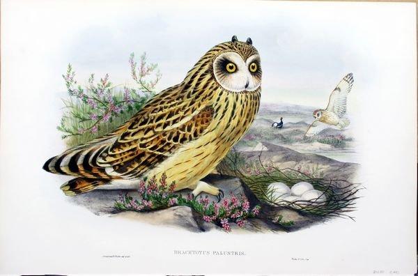 2002: Gould & Richter, Brachyotus Palustris, Lithograph