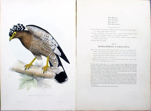 2003: E. Gould, Haematornis Undulatus, HC Lithograph