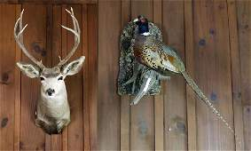 Deer Head Trophy  Taxidermy Pheasant