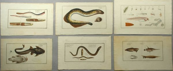 2006: Collection of Six 18th C. Ichthyological Prints