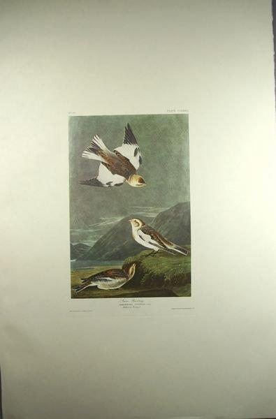 6015: Audubon Print, Amst. Ed., Snow Buntings