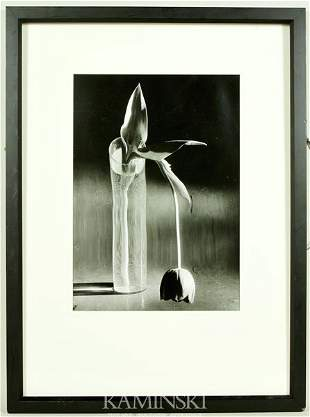 6242A: Kertesz, Melancholic Tulip, Gelatin Silver Print
