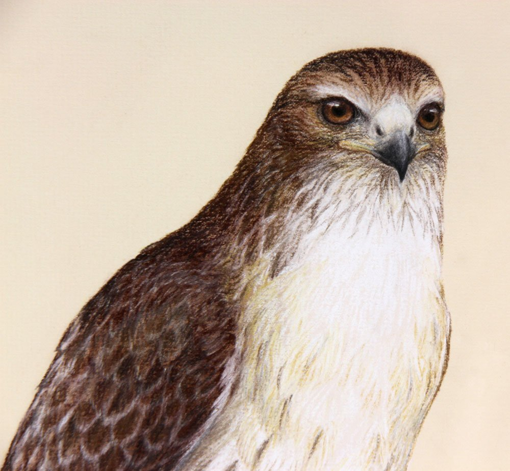 Red-Tailed Hawk, Pastel - 3