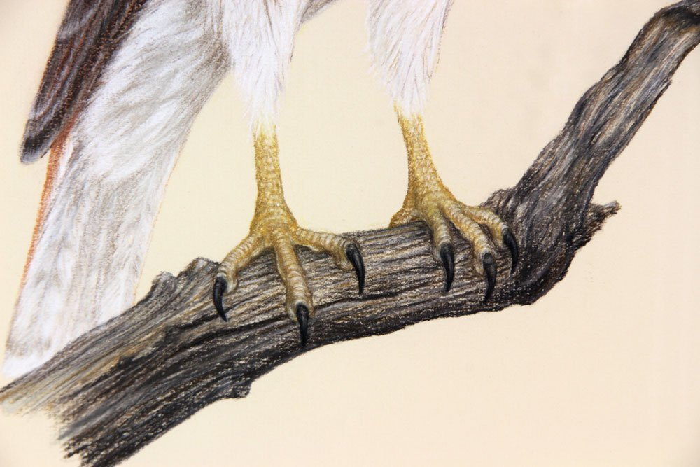 Red-Tailed Hawk, Pastel - 4