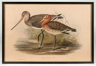 THREE FRAMED ANTIQUE BIRD PRINTS Limosa Melanura -
