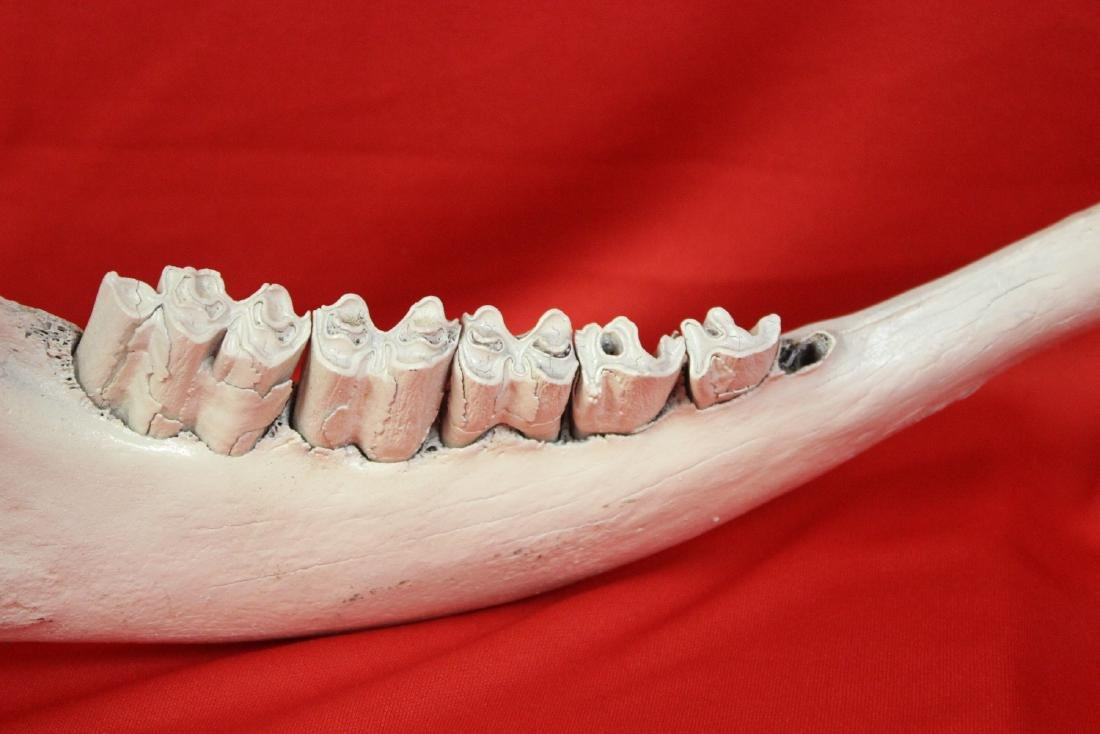 A Cow Jaw - 4