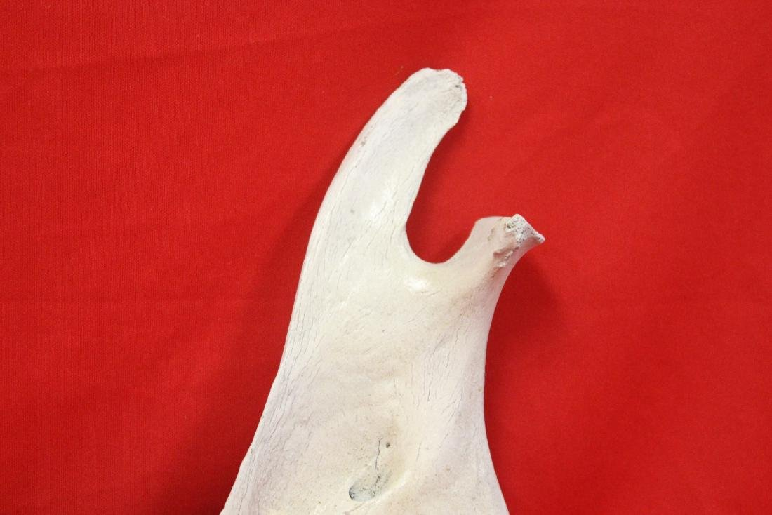 A Cow Jaw - 5