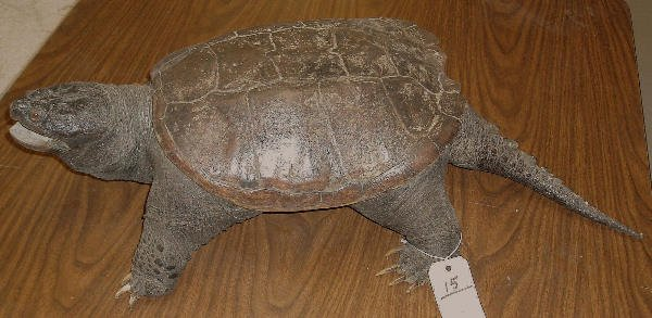 15: MOUNTED SNAPPING TURTLE