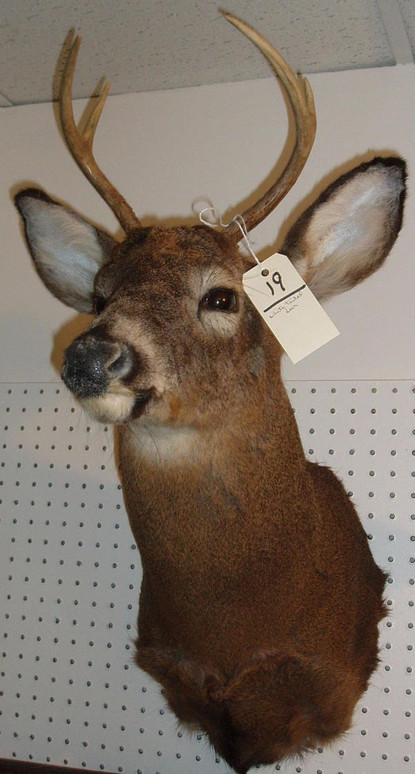 19: MOUNTED WHITE TAILED DEER