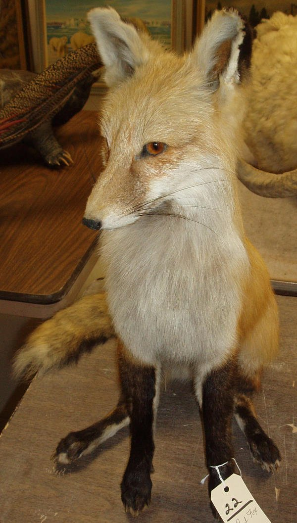 22: MOUNTED RED FOX SITTING UP