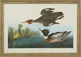 "John James Audubon (1785-1851), ""Red Breasted"