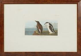 """John James Audubon (1785-1851), """"Slender-billed"""