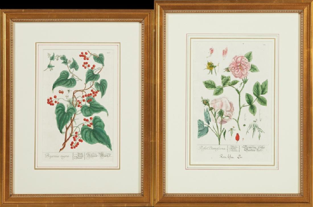 """Elizabeth Blackwell (1710-1774), """"Rosa Damascena,"""" and"""
