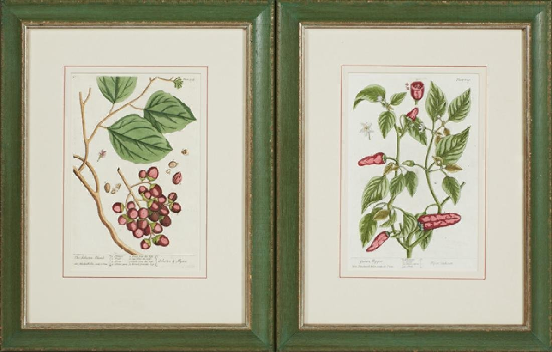 "Elizabeth Blackwell (1710-1774), ""Guinea Pepper,"" Plate"