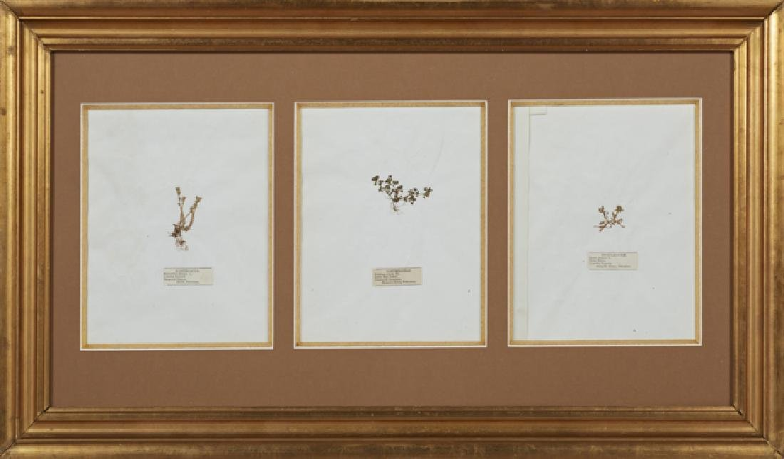 Group of Three Dried Botanical Specimens, 19th c.,