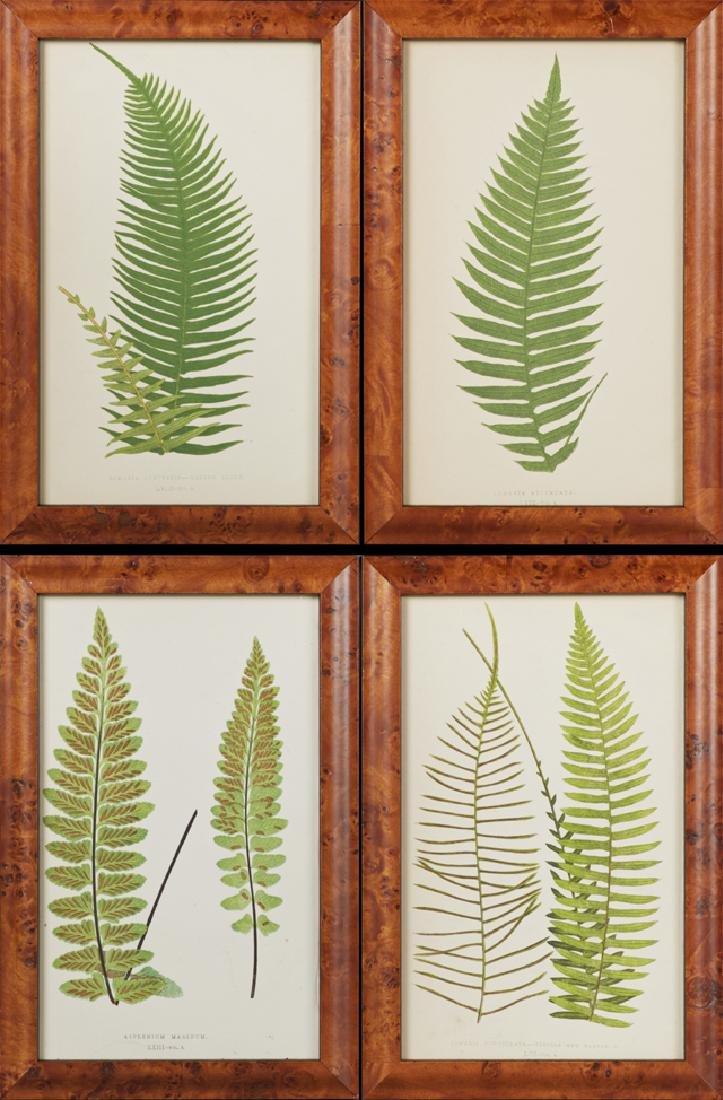 "Charles Edward Faxon (1845-1918), ""Lomaria Punctulata,"""