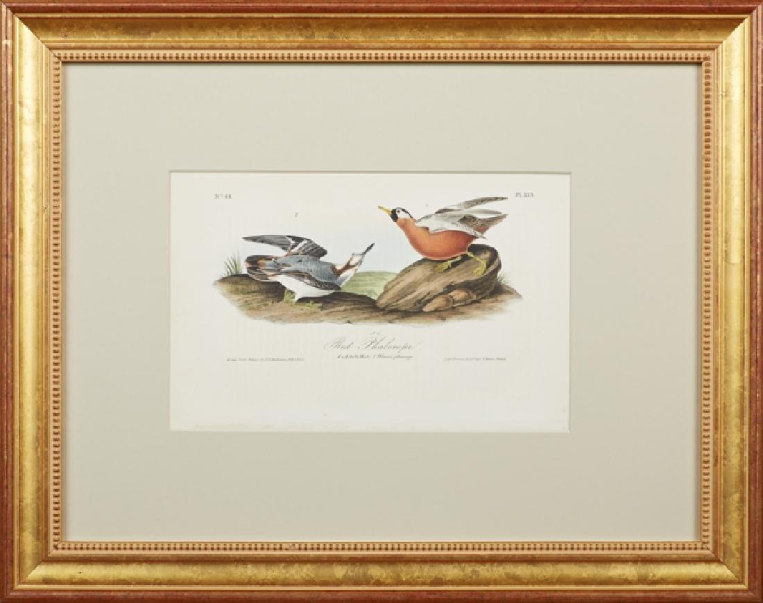 """John James Audubon (1785-1815), """"Red Phalarope,"""" No."""