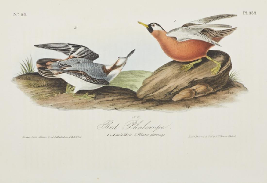 """John James Audubon (1785-1815), """"Red Phalarope,"""" No. - 2"""
