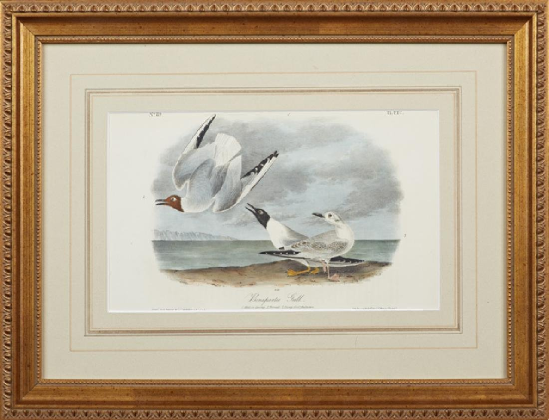 "John James Audubon (1785-1815), ""Bonaparte's Gull,"" No."