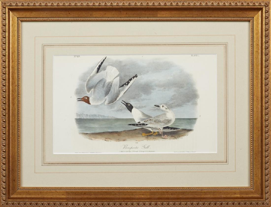 "John James Audubon (1785-1815), ""Bonaparte's Gull,"" No."