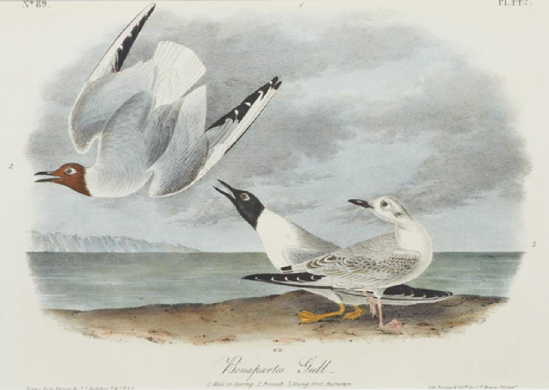 "John James Audubon (1785-1815), ""Bonaparte's Gull,"" No. - 2"