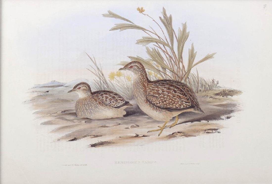 """J. Gould and H. C. Richter, """"Hemipodius Varies"""" and - 3"""
