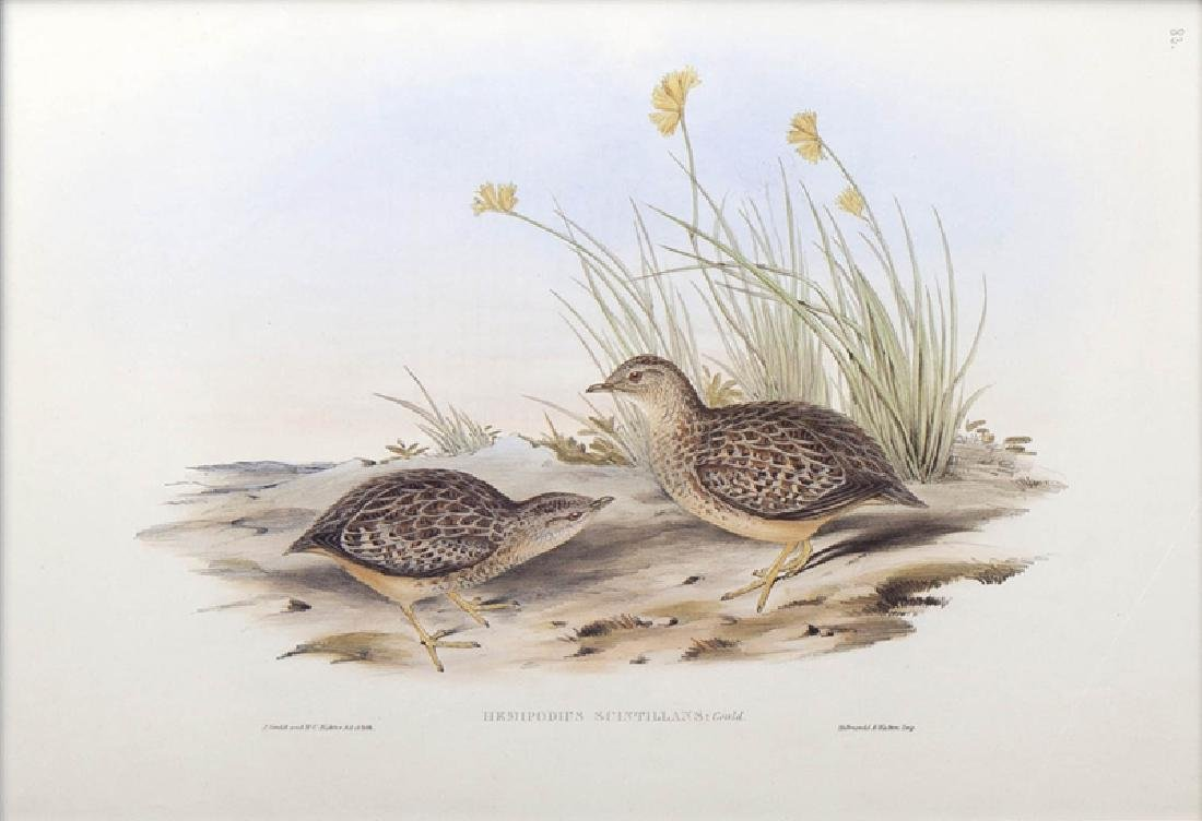 """J. Gould and H. C. Richter, """"Hemipodius Varies"""" and - 5"""