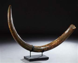 Fossilized Woolly Mammoth or Mastodon Tusk, measuring