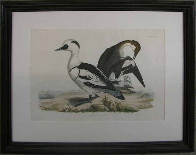"""828: Prideaux John Selby (1788-1867), """"Smew- Male and F"""