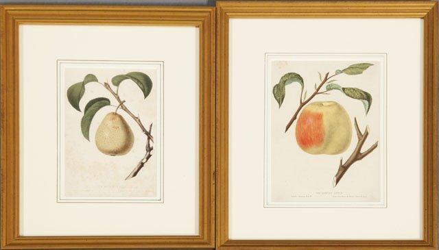 "12: W. Sharp, ""The Golden Beurre de Bilboa Pear,"" and """