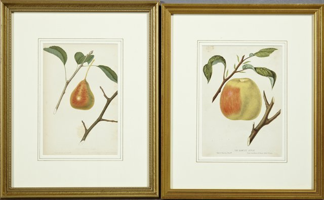 """W. Sharp, """"The Tyson Pear,"""" and """"The Hawley Apple,"""" c."""